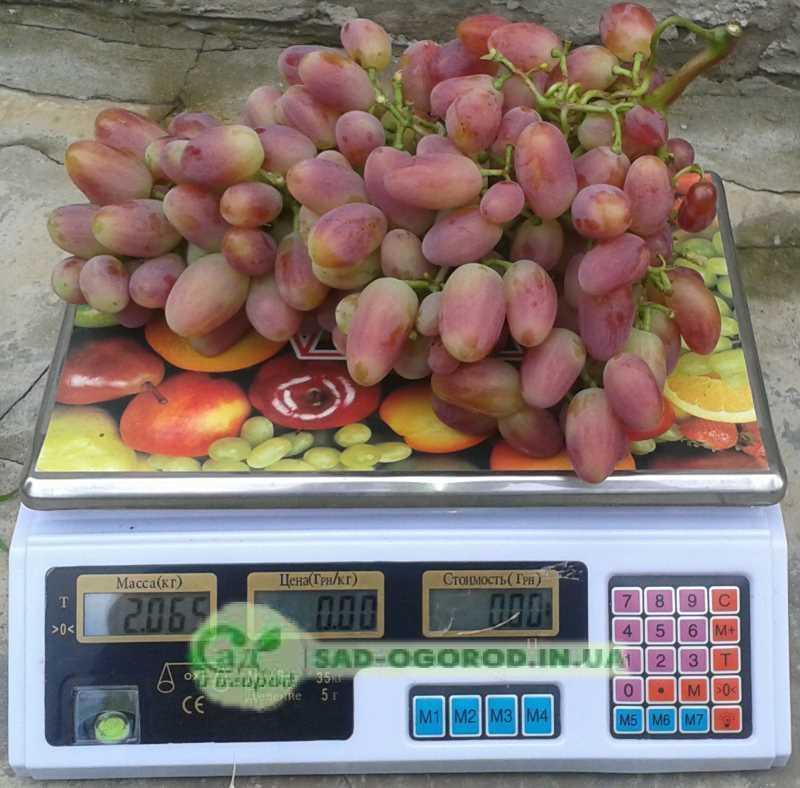 гроздь винограда преображения