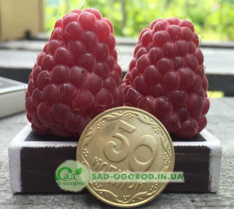 размер ягоды малины
