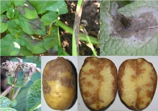 Iржава плямистість картоплі