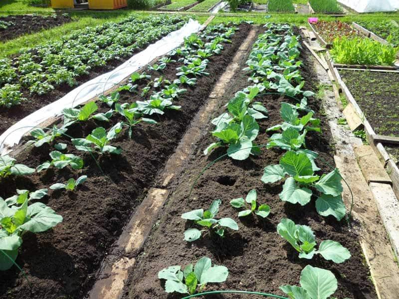 Посев капусты в июле
