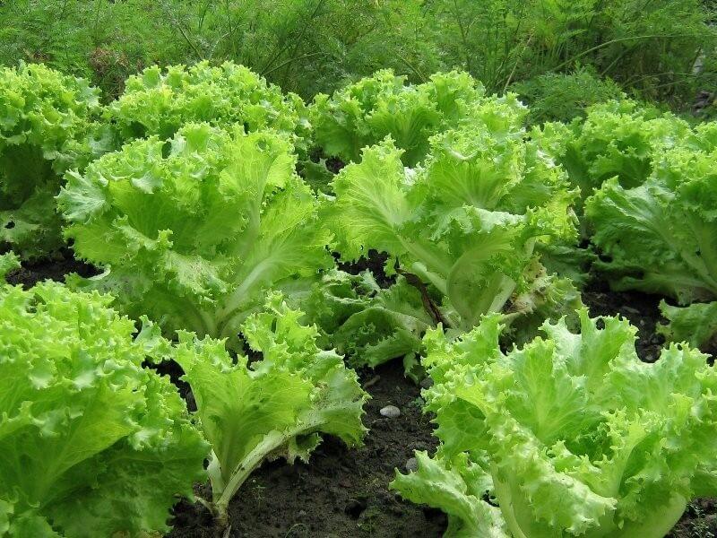 Посадка салатного листа в июле