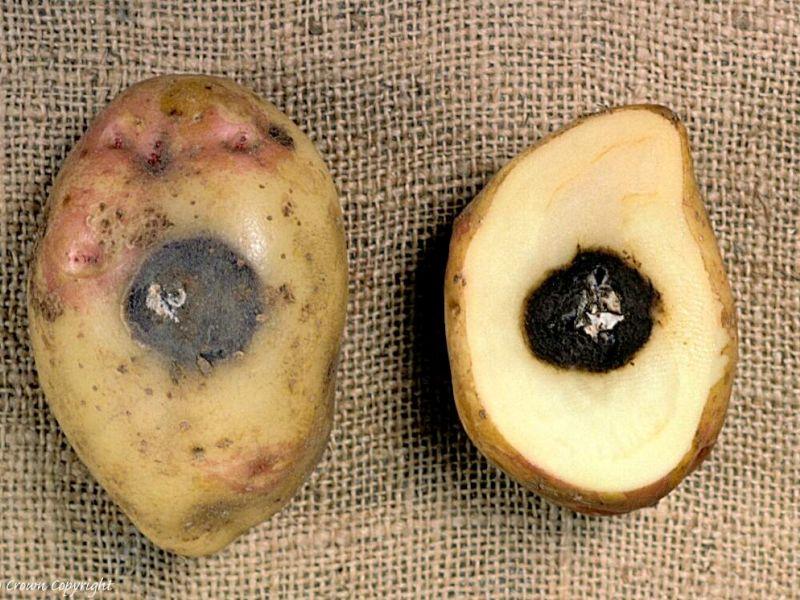 Картопляна гниль