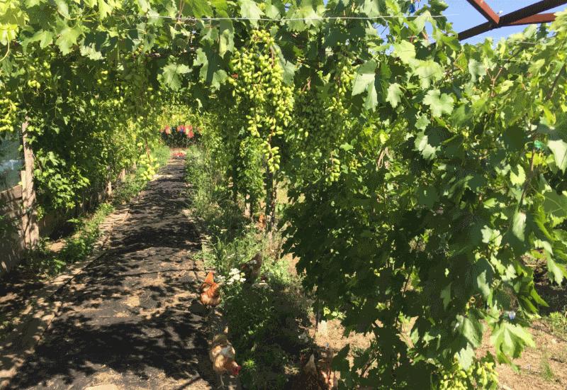 виноград и куры совместное выращивание