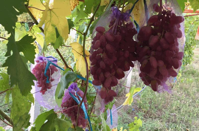мешки на винограде от ос и птиц
