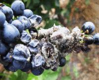 заболевание винограда серая гниль