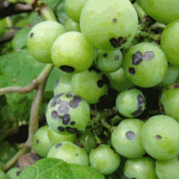 заболевание винограда черная гниль